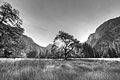 Half Dome elm center bw.jpg