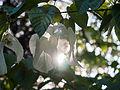 Handkerchief tree (8974248938).jpg