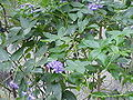 Hardenbergia violacea1.jpg