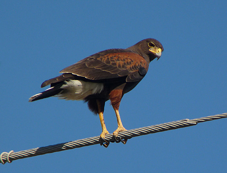 File:Harris's Hawk eyes me.jpg