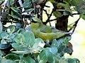 Hawaii Amakihi (Chlorodrepanis virens virens) (26399032591).jpg