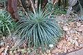 Hechtia stenopetala - Botanischer Garten, Dresden, Germany - DSC08868.JPG