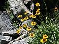 Helenium bigelovii Bigelow sneezeweed clump.jpg