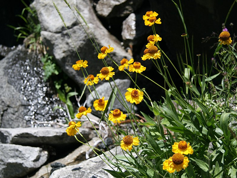 File:Helenium bigelovii Bigelow sneezeweed clump.jpg