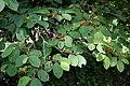 Helicteres isora (East Indian screw tree) W IMG 1247.jpg