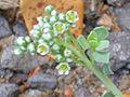 Heliotropium curassavicum Enfoque 2011-8-14 SierraMadrona.jpg