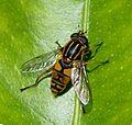 Helophilus pendulus. - Flickr - gailhampshire.jpg