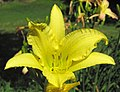 Hemerocallis sp. (day lily) (Newark, Ohio, USA) 9 (42586317534).jpg