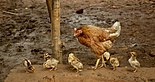 Hen with chicks, Raisen district, MP, India.jpg