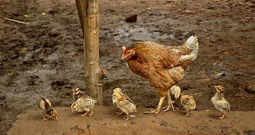 Hen with chicks, Raisen district, MP, India