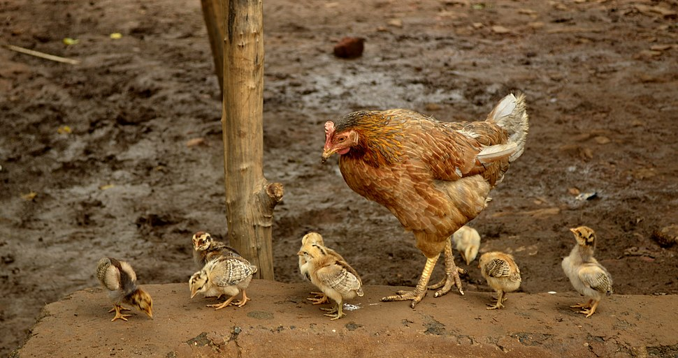 Hen with chicks, Raisen district, MP, India