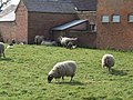 Heritage sheep - geograph.org.uk - 393193.jpg