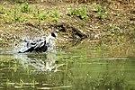 Heron bathtime - Lackfrod Lakes (27796823710).jpg