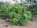 Hibiscus clayi - Koko Crater Botanical Garden - IMG 2264.JPG