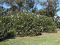 Hibiscus heterophyllus bush.jpg