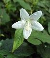 Hibiscus lobatus - Lobed Leaf Mallow 08.JPG