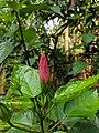 Hibiscus sp 220181104 085120.jpg