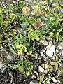 Hibiscus trionum sl81.jpg