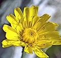 Hieracium vulgatum inflorescence (15).jpg