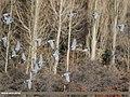 Hill Pigeon (Columba rupestris) (46910367081).jpg