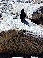 Himalayan crow.jpg