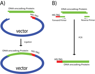Polyhistidine-tag -  Adding polyhistidine tags. A) The His-tag is added by inserting the DNA encoding a protein of interest in a vector that has the tag ready to fuse at the C-terminus. B) The His-tag is added using primers containing the tag, after a PCR reaction the tag gets fused to the N-terminus of the gene.
