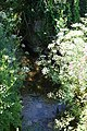 Hogweed at stream at Trerice - geograph.org.uk - 1364164.jpg