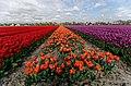 Hollands Kroon - 't Veld - Rijdersstraat - Panorama View on Tulips 11.jpg