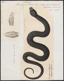 Homalopsis schneideri - 1700-1880 - Print - Iconographia Zoologica - Special Collections University of Amsterdam - UBA01 IZ12000197.tif