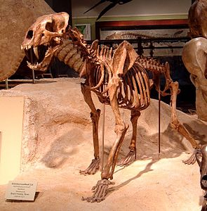 Skelettrekonstruktion von Homotherium serum im Texas Memorial Museum der University of Texas at Austin