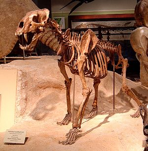 Skelettrekonstruktion von Homotherium serum im Texas Memorial Museum der University of Texas at Austin