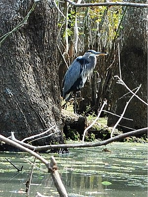 Honey Island Swamp - Wildlife at Honey Island Swamp, bird