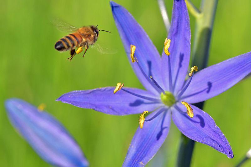 File:Honey bee on camas 4.jpg