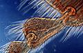 Honeybee leg (250 10) Honeybee (Apis mellifera) leg.jpg