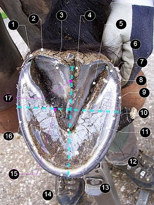 Horse hoof - Transitioning barefoot hoof, from below. Details: (1) periople, (2) bulb, (3) frog, (4) central sulcus, (5) collateral groove, (6) heel, (7) bar, (8) seat of corn, (9) pigmented wall (external layer), (10) water line (inner unpigmented layer), (11) white line, (12) apex of frog, (13) sole, (14) toe, (15) how to measure width (fulcrum), (16) quarter, (17) how to measure length