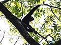 Hoolock Gibbon DSCN1410 02.jpg