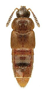 <i>Hoplandria</i> Genus of beetles