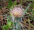 Horrid Thistle (Cirsium horridulum) (39002842451).jpg