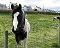 Horses, Millisle - geograph.org.uk - 739923.jpg