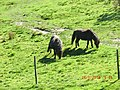 Horses on the mountain near the Rack Railway - panoramio.jpg
