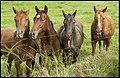 Horses waiting for Benjamins carrots-1 (33748004106).jpg