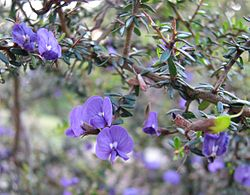 meaning of hovea