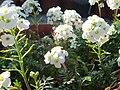 Hutchinsia alpina 3.JPG
