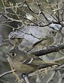 Huttons Vireo From The Crossley ID Guide Eastern Birds.jpg
