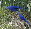 Hyacinth Macaws (Anodorhynchus hyacinthinus) feeding on palm nuts ... - Flickr - berniedup.jpg