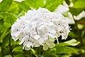 Hortensia bloem wit.jpg