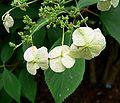 Hydrangea heteromalla flowers.jpg