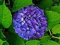 Hydrangea macrophylla 002.JPG