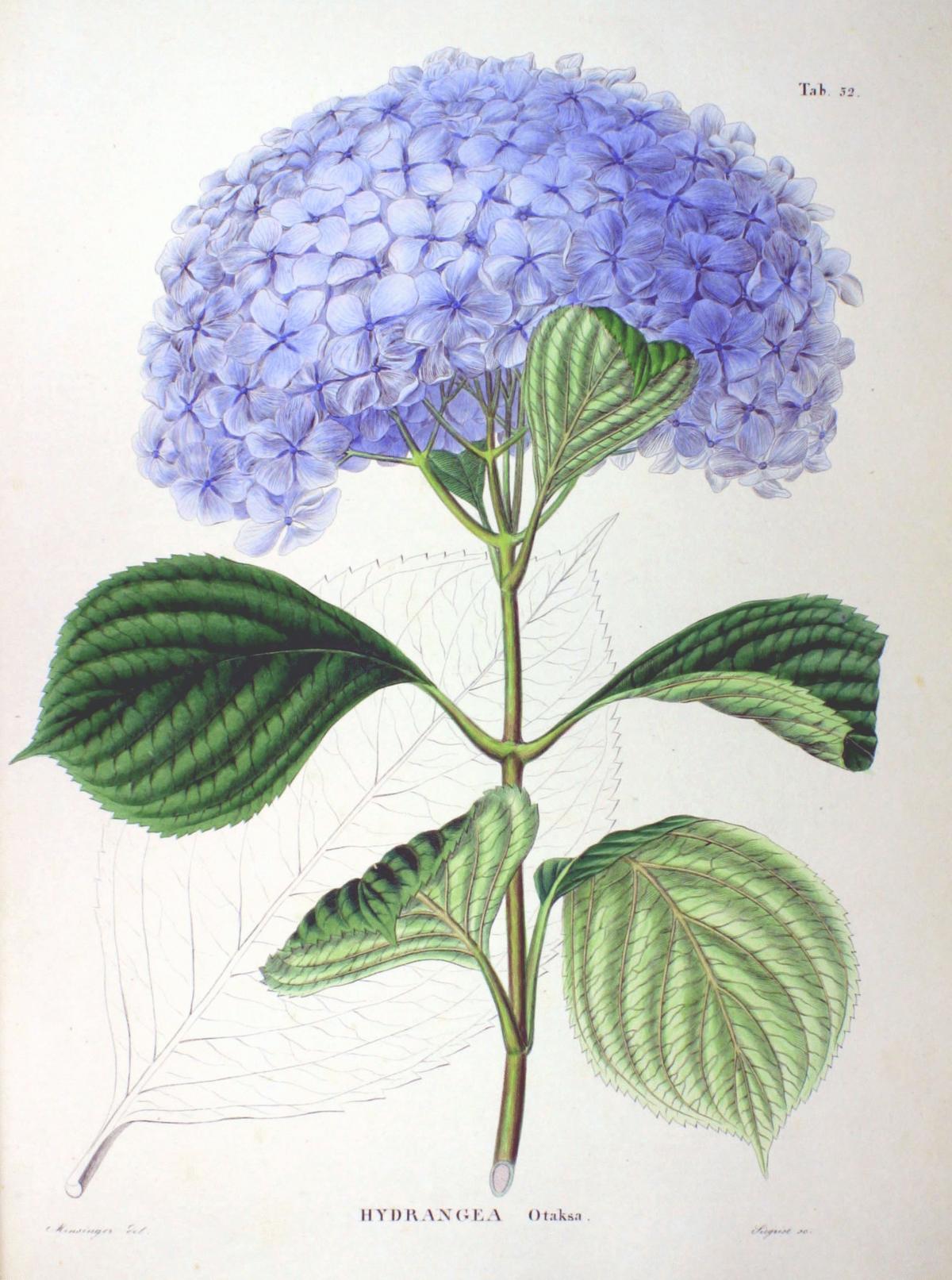 Hydrangea macrophylla wikipedia la enciclopedia libre for Colore ortensia
