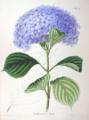 Hydrangea macrophylla SZ52.png